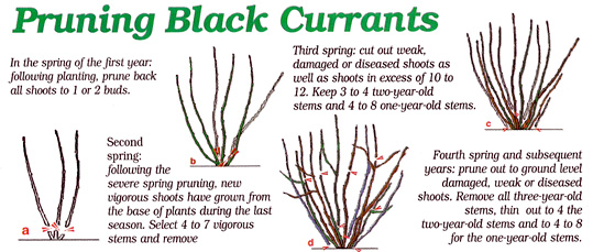 Images Of Black Currant Plant